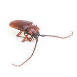 Coconut beetle Royalty Free Stock Photography