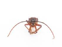 Coconut beetle Stock Image