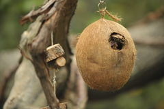 Coconut bird house. Hanging from a tree Stock Image