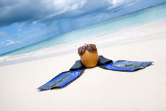 Coconut with black sunglasses and blue flippers Royalty Free Stock Photo