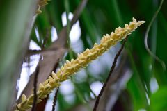 Coconut blossom. Coconut flower in garden Royalty Free Stock Images