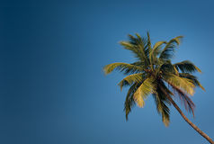 Coconut with blue sky Royalty Free Stock Image
