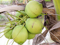 Coconut bunch Royalty Free Stock Photo