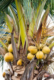 Coconut. Bunch of coconuts,coconut Avalanche,raw material Royalty Free Stock Photo
