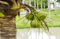 Coconut in the bunch Stock Images