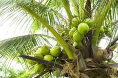 Coconut in the bunch Stock Photography