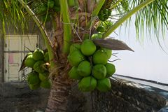 Coconut bunch on the palm tree in the garden Royalty Free Stock Images