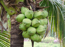 Coconut. Bunch of coconut on tree Royalty Free Stock Image