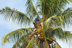 Coconut climber Stock Image