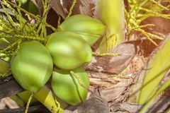 Coconut cluster on coconut. Tree Royalty Free Stock Image