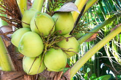 Coconut cluster on the coconut tree Royalty Free Stock Photo