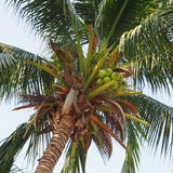 Coconut cluster on coconut tree Royalty Free Stock Image
