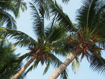 Coconut cluster on coconut tree Royalty Free Stock Images