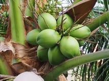 Coconut cluster on coconut tree Stock Photo