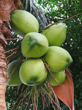 Coconut cluster on coconut tree Royalty Free Stock Photo