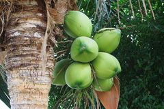 Coconut cluster on coconut tree Royalty Free Stock Photography