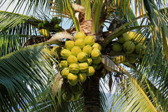 Coconut cluster on coconut tree Stock Photos