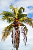 Coconut cluster on tree Stock Photo