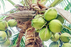 Coconut cluster on tree. Royalty Free Stock Photography
