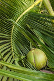Coconut on coconut leaves Royalty Free Stock Images