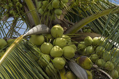 Coconut and coconut tree in tropical country. Coconuts and coconut tree in tropical country stock photography