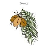 Coconut Cocos nucifera Royalty Free Stock Photos
