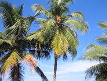 Coconut collection3. Coconut trees with sky and clouds Royalty Free Stock Photo