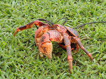 Coconut crab Royalty Free Stock Photos