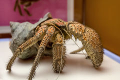 The coconut crab Birgus latro , is a species of terrestrial hermit , known as the robber , ganjo or palm thief. Royalty Free Stock Photo