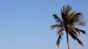 Coconut or date tree shaking, ocean wind blowing hard, trees dancing beautiful motion of tropical trees of Oman beach. On a bright sunny day cold or hot hard stock video footage