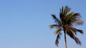 Coconut or date tree shaking, ocean wind blowing hard trees dancing beautiful motion of tropical trees of Oman beach. On a bright sunny day cold or hot hard stock video footage