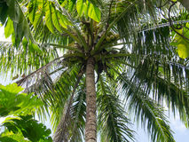 Coconut. Dekai, Indonesia - January 21, 2015: A giant coconut palm with already ripe fruits Royalty Free Stock Images