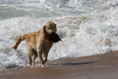 Coconut Dog Royalty Free Stock Photos