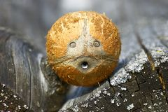 Coconut face. Amazing coconut face Stock Images