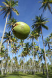 Coconut Falling Palm Trees Grove Blue Sky Royalty Free Stock Photo