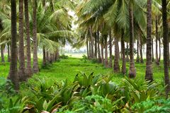 Coconut farm Royalty Free Stock Image