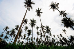 Coconut farm Stock Images