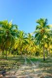 Coconut farm countryside Royalty Free Stock Photo