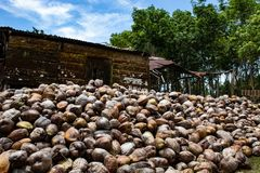 Coconut farm in the Dominican Republic: mountain of coconuts.  stock photography