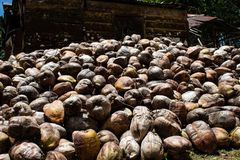 Coconut farm in the Dominican Republic: mountain of coconuts.  royalty free stock photography