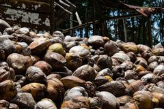 Coconut farm in the Dominican Republic: mountain of coconuts.  royalty free stock photos