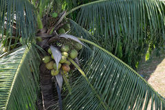 Coconut farm Royalty Free Stock Photography