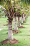 Coconut farm Stock Photo