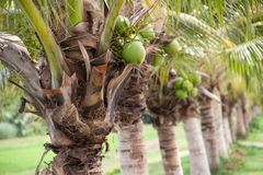 Coconut farm Royalty Free Stock Photos