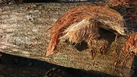 Coconut Fiber On A Dead Tree Trunk Royalty Free Stock Photography