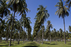 Coconut field Royalty Free Stock Photography