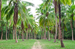 Coconut field in thailand Stock Photos