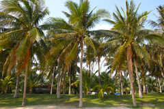 Coconut forest. The scenery of coconut forest stock images