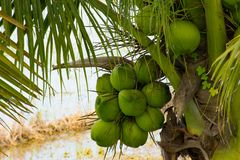 The coconut fragrance Beginning of the flats should eat sweet drinks full. The coconut fragrance A low tree fruit should drink eat sweet, full of love and fresh royalty free stock image
