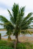 The coconut fragrance Beginning of the flats should eat sweet drinks full. The coconut fragrance A low tree fruit should drink eat sweet, full of love and fresh stock images